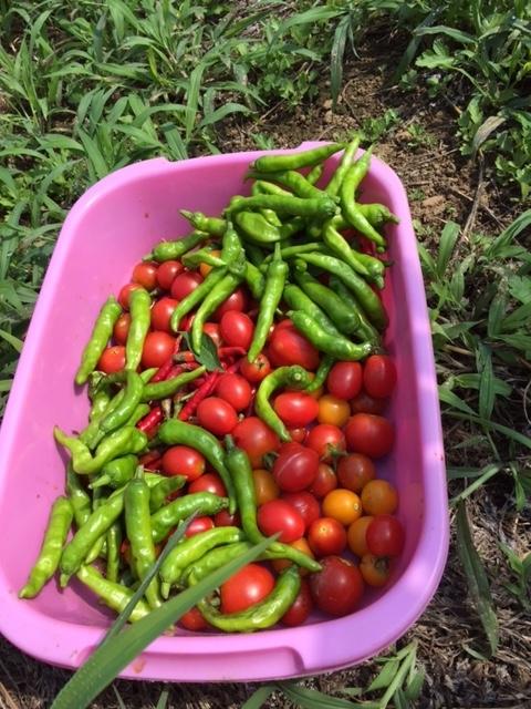 0819収穫