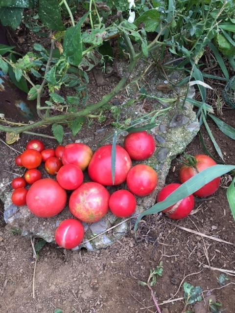 0821収穫3