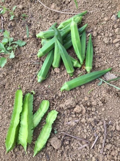 0821収穫1