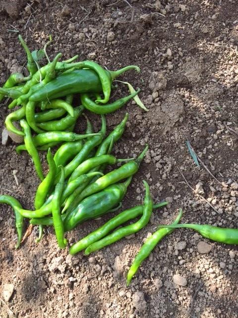 0829収穫2