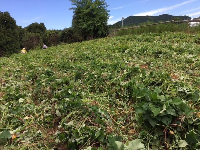 0903イモ畑2