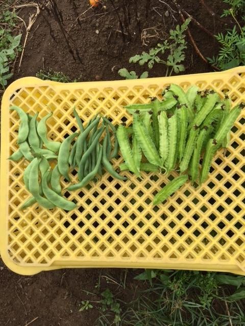 0905収穫2