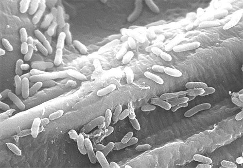 細菌は電気も発酵で作っていた