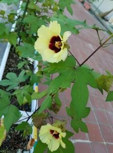 170818ワタの花