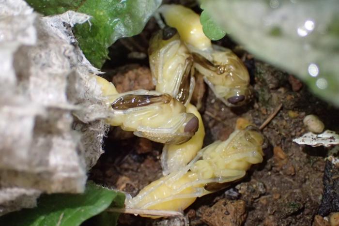 蜂の幼虫3