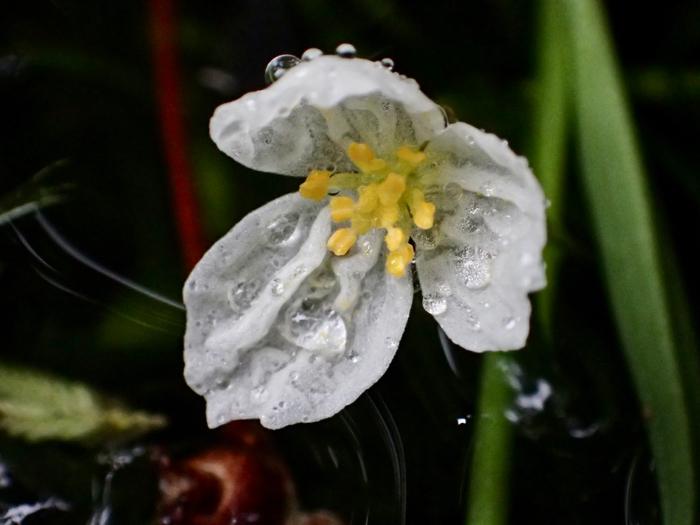 オオカナダモの花