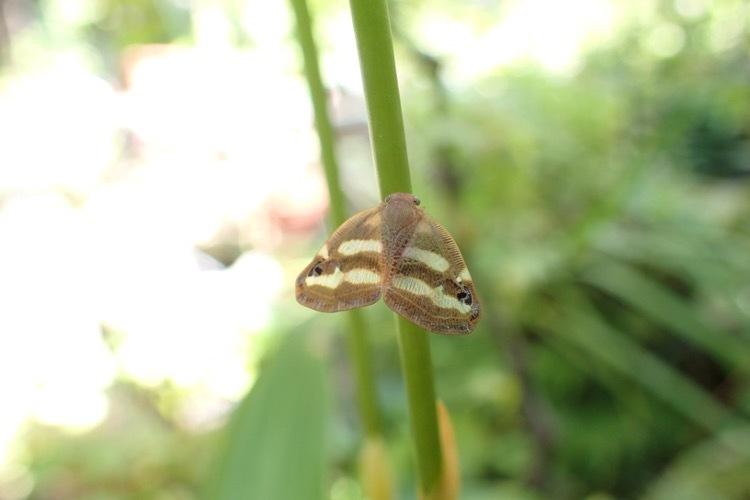 ベッコウハゴロモ