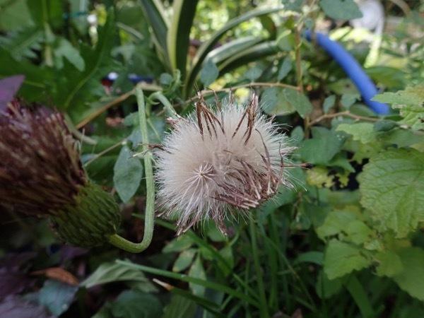 アザミの仲間 種子