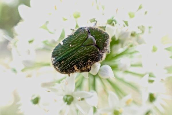 コアオハナムグリ