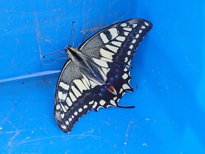 アゲハ成蝶