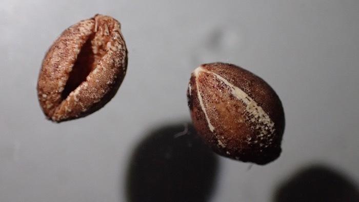 サンゴジュ 種子