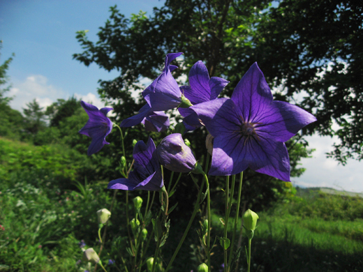 2017_7月の花1