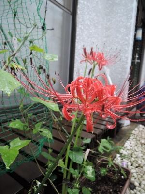 今年も咲いた曼珠沙華