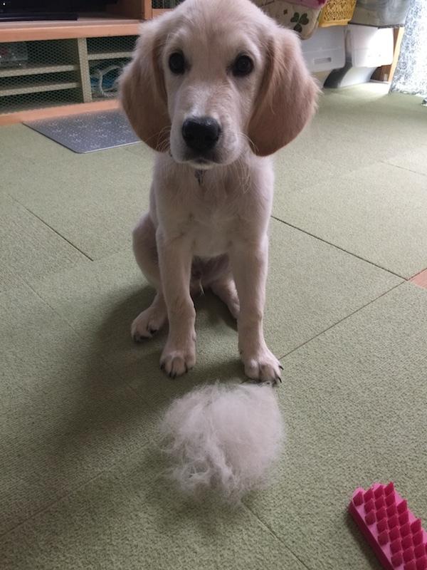 アルタの体の毛をグルーミングしたら大量に抜けた