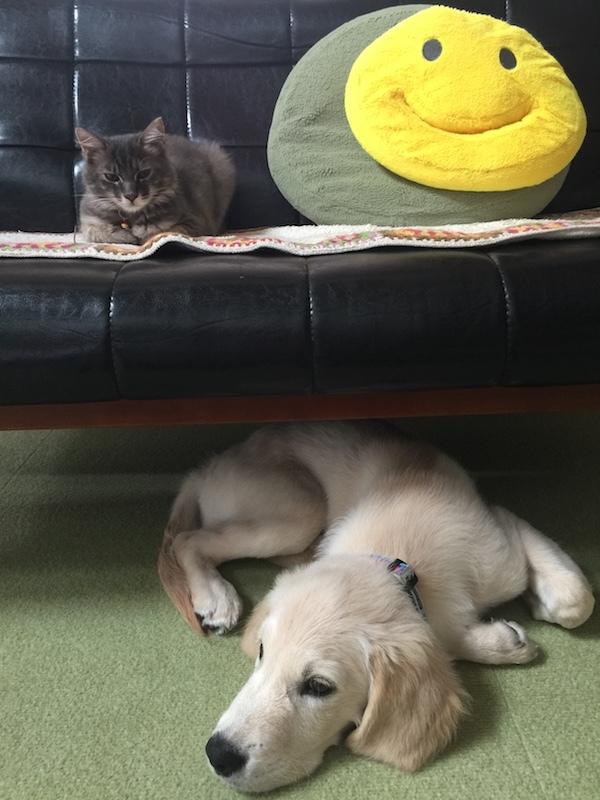 ソファーの上にはねえねニャン下にはアルタが眠そうに伏せている