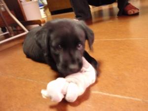 飛行機の乗ってやってきた 新しい家族 :愛犬