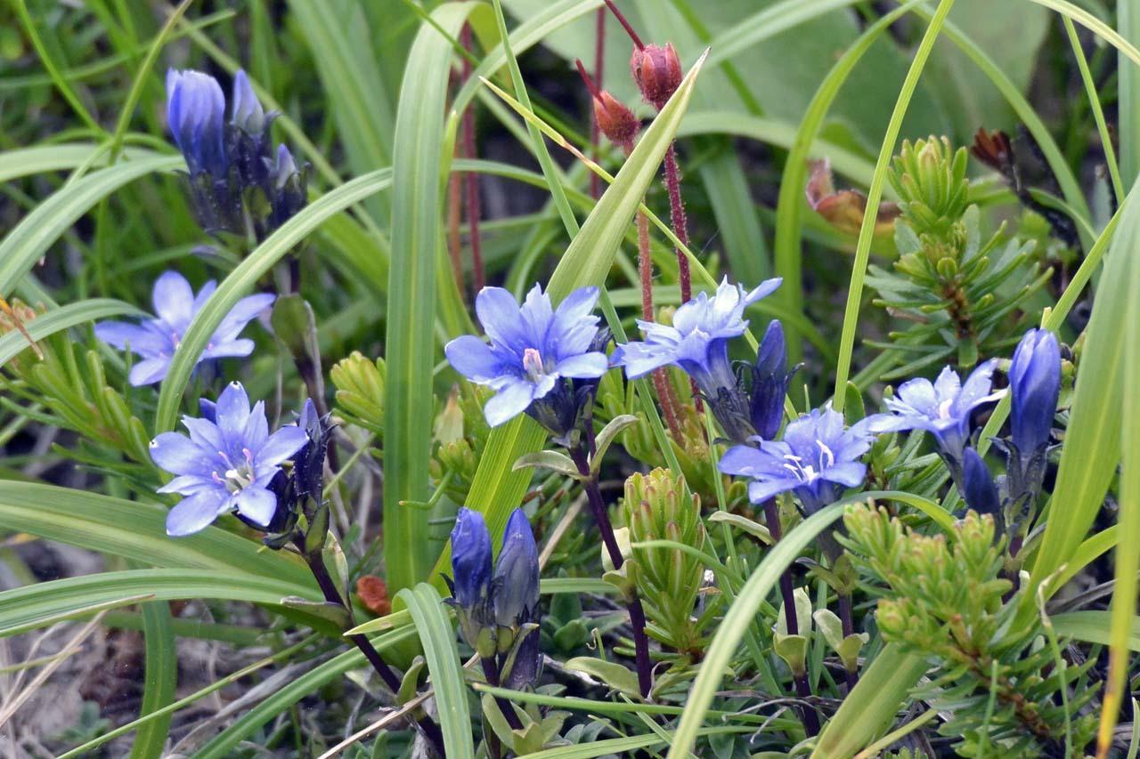_DSC8435旭岳の花
