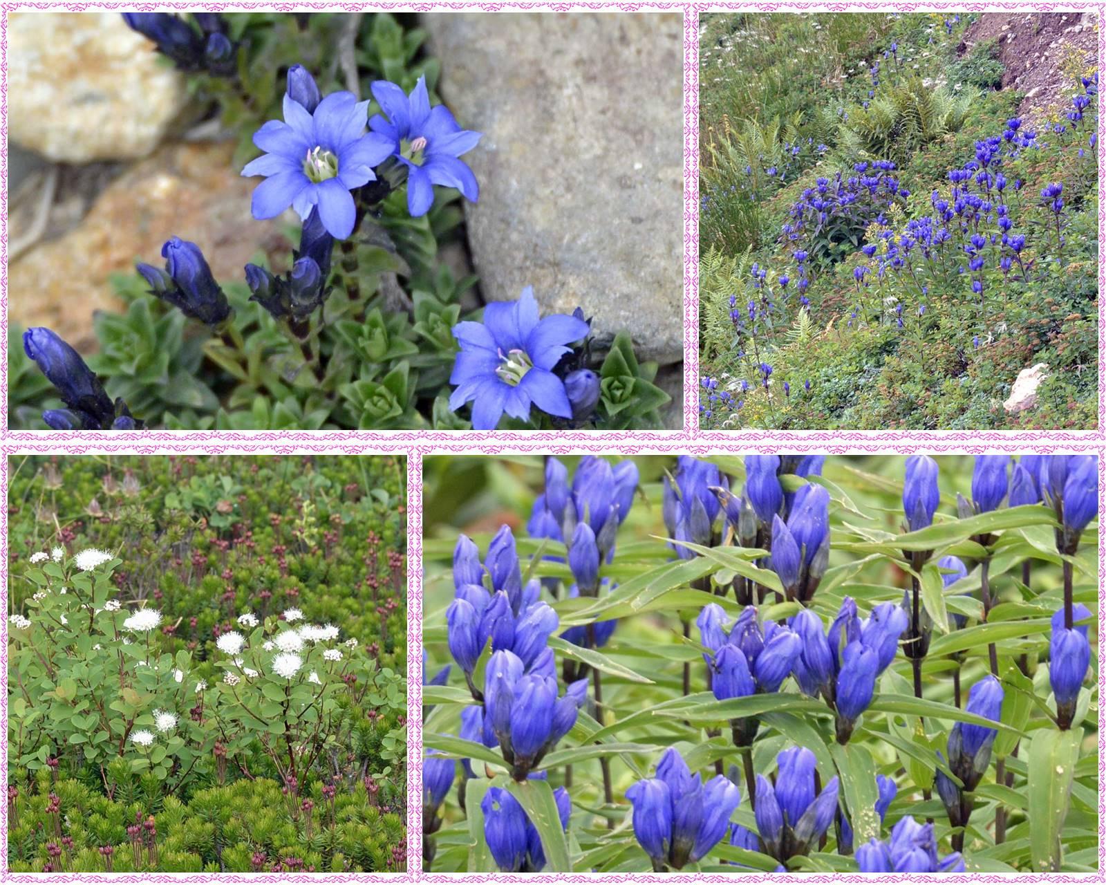 page旭岳の花05