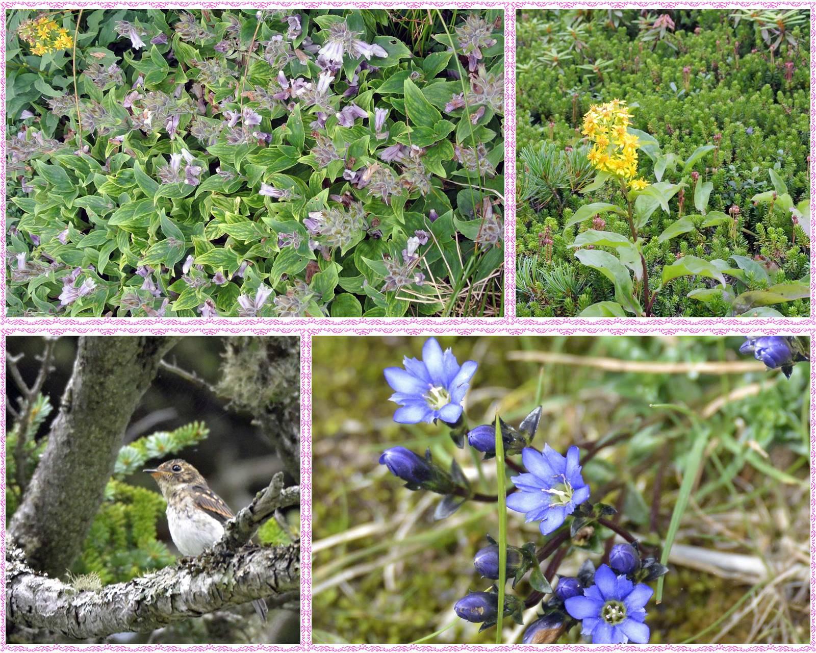 page旭岳の花07