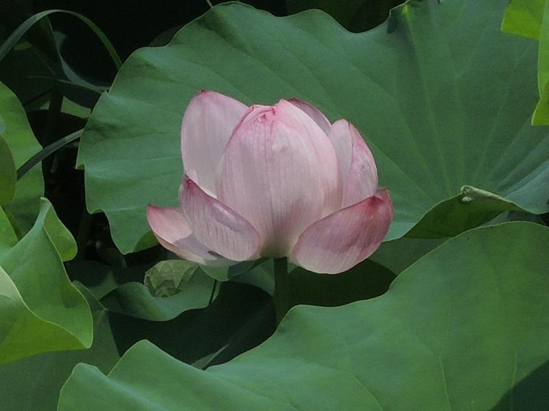 ハスの花 その2