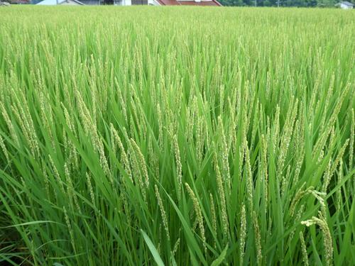 稲の花3kai