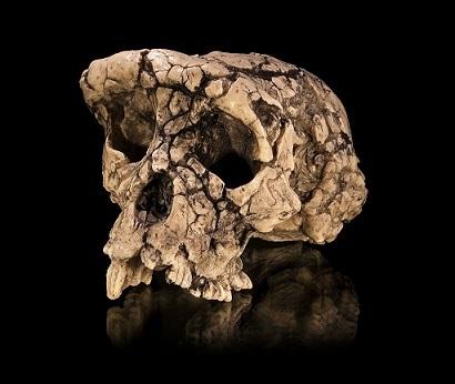 サヘラントロプスの化石