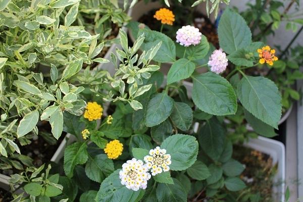 2017.07.17 いま咲く花たち-1