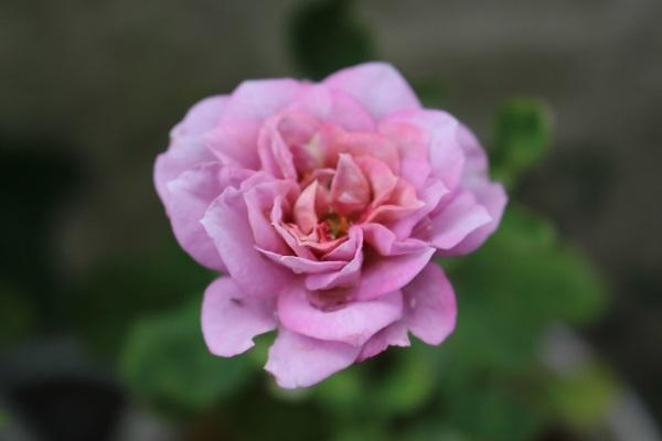 2017.07.17 いま咲く花たち-2