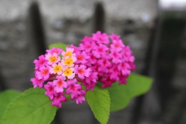 2017.07.17 いま咲く花たち-5