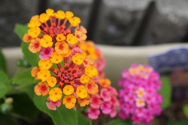 2017.07.17 いま咲く花たち-6