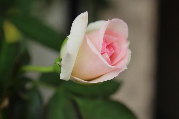 2017.07.17 いま咲く花たち-10