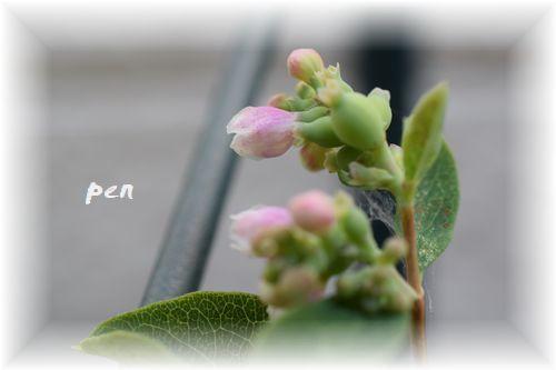 シンフォリ花