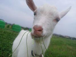 【写真】草をくわえてこちらをみつめる子ヤギのポール