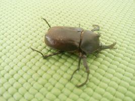 【写真】羽化したばかりのカブトムシ