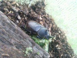 【写真】カブトムシがキュウリを食べている様子