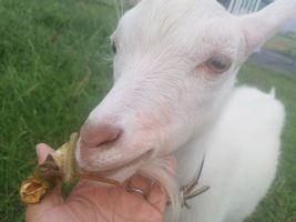【写真】頬が赤く染まった顔でこちらを見つめながら餌を食べる子ヤギのポール