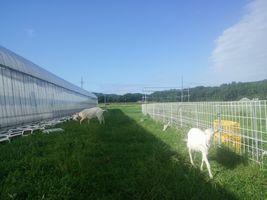 【写真】久し振りの青空の下で草を食べるアランとポール