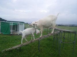 【写真】登り台に挑戦するポールを後ずさりしながら誘導するアラン