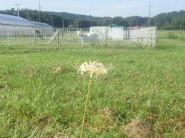 【写真】アランフィールド前の広場に咲いた白い彼岸花