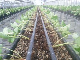 【写真】本圃ハウスに定植した紅ほっぺの苗