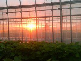 【写真】農園主が水やり作業をしている後ろから朝陽が昇って来るところ
