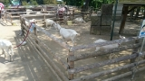 夏合宿 170907 山羊