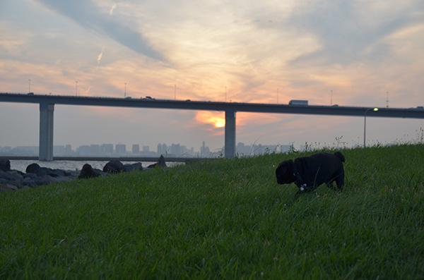 黒豚放牧中