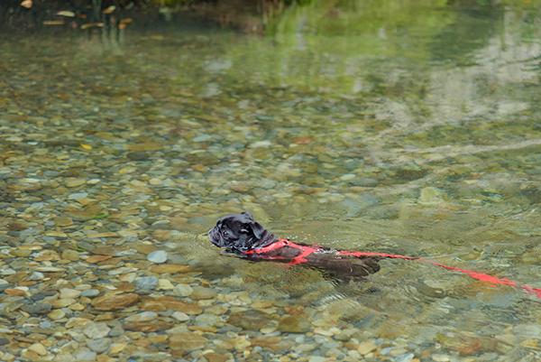 ベテランの泳ぎ