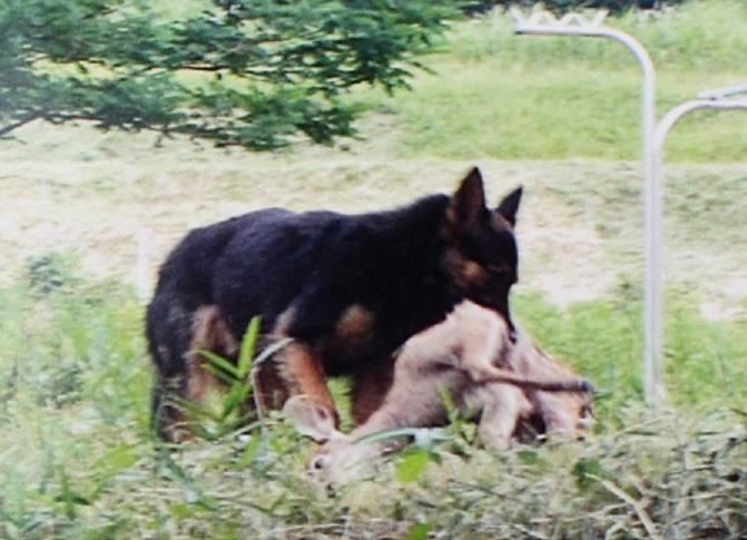 子鹿をくわえるシェパードに似た大型犬
