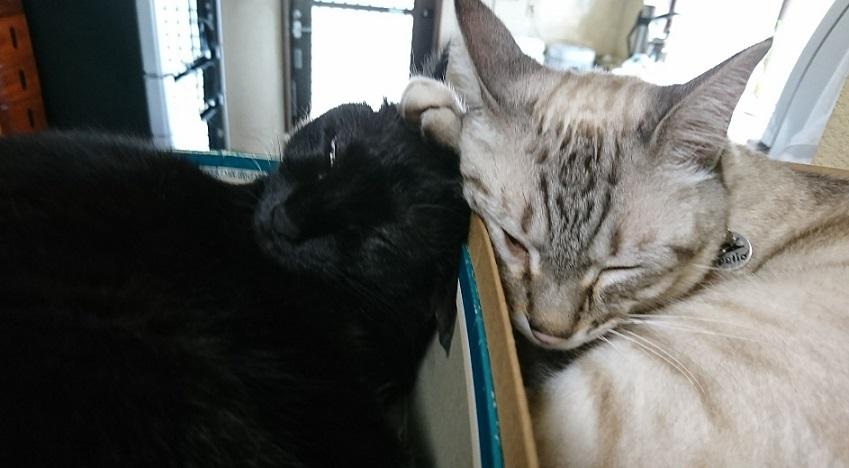 """京さんが、送ってくれた愛猫ちゃんたち名前は白い方が""""元ちゃん""""(元気)で、黒い方が""""アンコちゃん""""です2"""