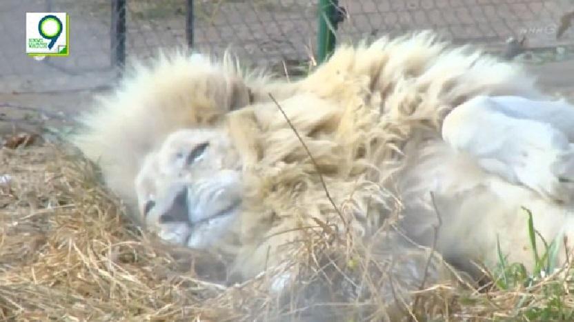 ④百獣の王、ライオン。のんびりと過ごしているように見えますが、このライオンたち、もうすぐ人の手で殺される運命なのです