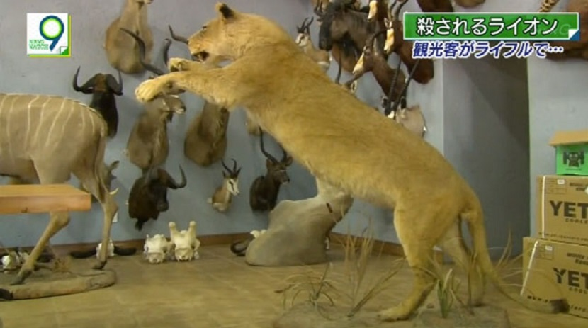 ⑥凝らされたライオン達は、剥製や毛皮に加工されて、持ち帰ることができるそうです