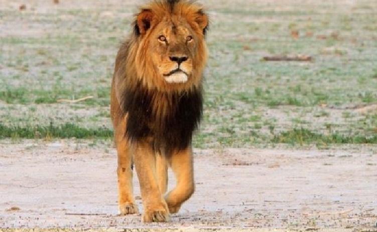 ①殺害されたセシルは黒たてがみが特徴の13歳の雄ライオンだった