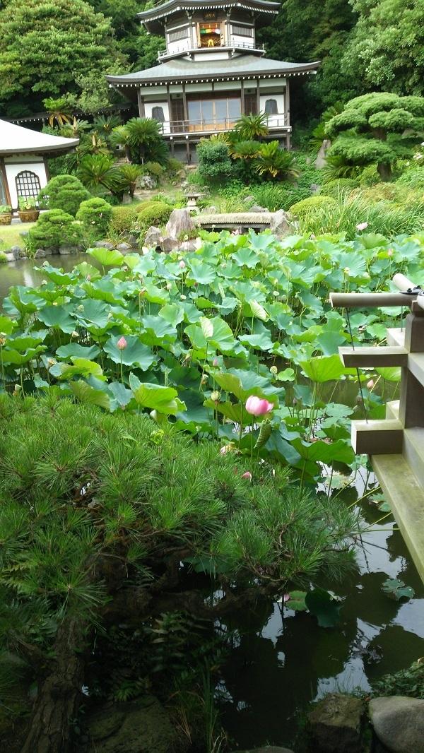 光明寺の蓮池